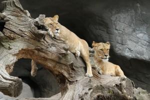 lion-989141_1920